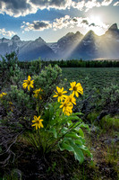 Golden Balsamroot Sunset in the Tetons